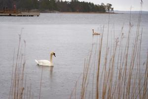 White swan family on the Baltic Sea coast in Finland photo