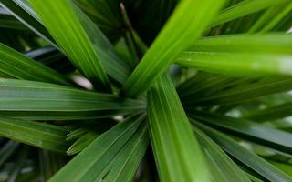 Natural palm leaves texture abstract background photo