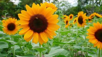 Beautiful sunflowers blooming in the garden photo