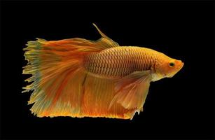 Siamese betta fighting fish with beautiful colors on black background with clipping path photo