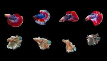 Siam betta fish with beautiful colors on a black background photo