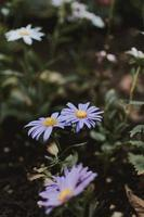 white and purple petaled flower photo
