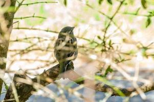 Sparrow in New Zealand photo