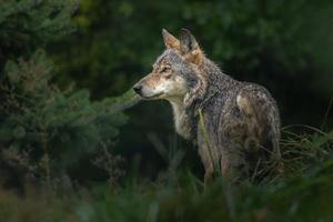 lobo en el bosque foto
