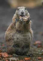 Prairie dog eating photo