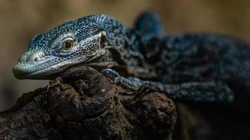 Blue spotted tree monitor photo