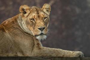 Lion Panthera leo photo