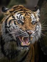 Angry Sumatran tiger photo