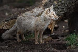 Portrait of Corsac fox photo