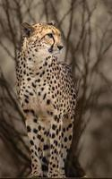 Portrait of Cheetah photo