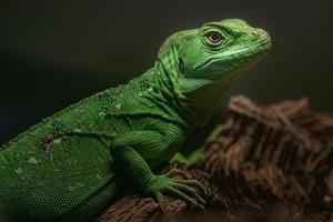 retrato de basilisco verde foto