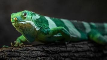 iguana con bandas de fiji foto