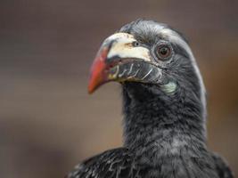 African grey hornbill photo