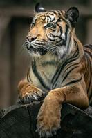 Portrait of Sumatran tiger photo