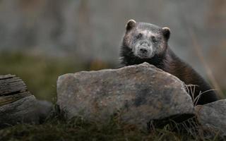 Wolverine behind stone photo
