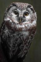 Portrait of Tengmalms owl photo