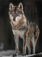 retrato de lobo euroasiático foto