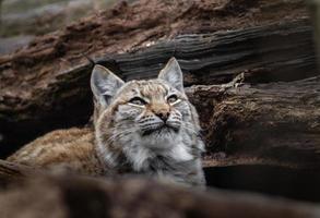 Eurasian lynx between logs photo