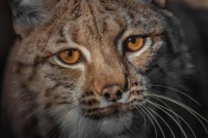 Eurasian lynx closeup photo