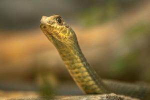serpiente de montpellier oriental foto