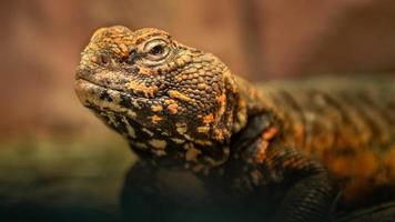 North African Spiny tailed Lizard photo