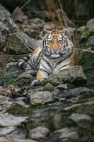 Portrait of Siberian tiger photo