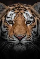 Siberian tiger closeup photo