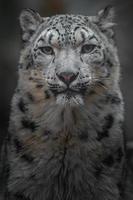 irbis leopardo de las nieves foto