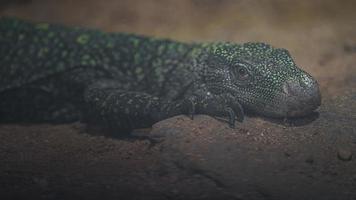 Crocodile monitor on stone photo