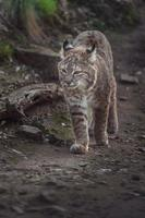 Red lynx Bobcat photo