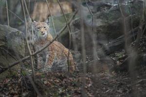 Eurasian lynx in leaves photo