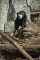 Sun bear on rock photo