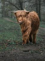 Highland cattle on meadow photo