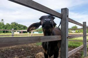 Close up tha face of a black bull photo