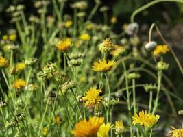 Pot caléndula calendula officinalis creciendo en una pradera en otoño closeup con enfoque selectivo foto