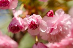 Pink sakura flowers near spring in sunlight photo