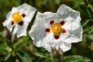 Spotted White rock rose photo