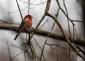 Male House Finch in the Woods photo