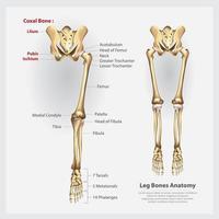 Human Anatomy Leg Bones Vector Illustration