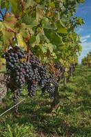 Uvas en el viñedo en el sur de Francia en la Provenza foto