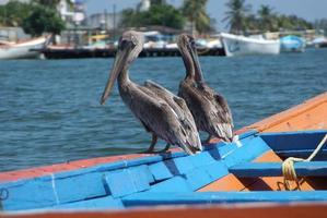 Pelícanos pardos en el mar Caribe junto a la costa del paraíso tropical foto