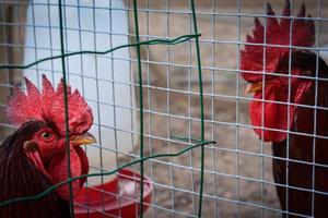 dos gallos gallos vallados foto
