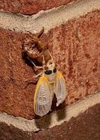Brood X cicada has emerged from its exoskeleton and its wings have expanded photo