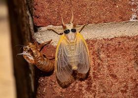 Brood X cicada has emerged fully from its exoskeleton, top view, body is still pale photo