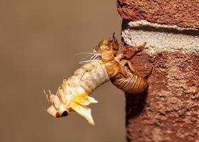 Brood X cicada in the process of emerging from its exoskeleton, side view photo
