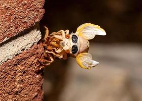 Brood X cicada has emerged from its exoskeleton, front view photo