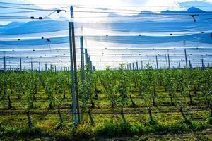 Apple farm covered by anti-hail net at Lake Caldaro in Bolzano, Italy photo