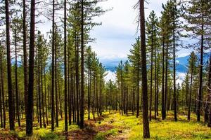 Tall trees in the forest photo