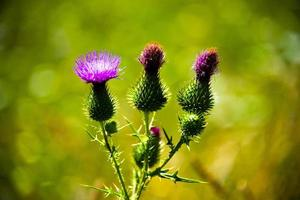 Three green thistles and a pink flower with a green background photo