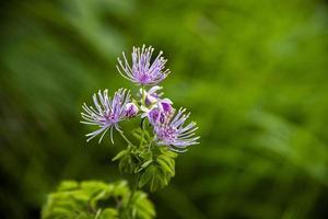 flor de thalictrum aquilegiifolium foto